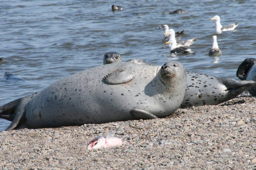Seal of Shantar islands