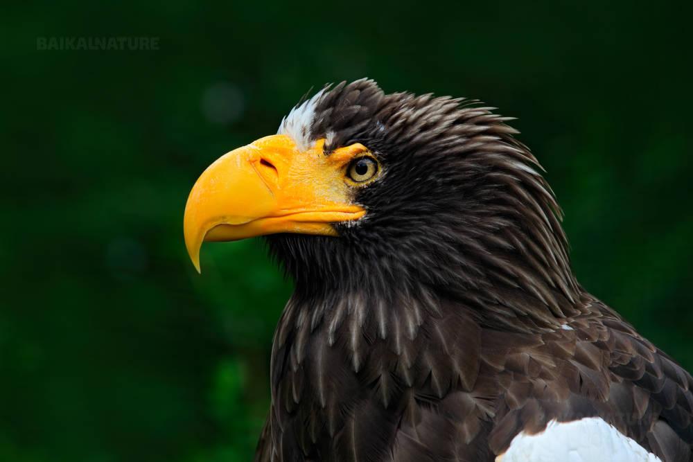 Белоплечий Орлан, хищная птица с большим желтым клювом. Камчатка.