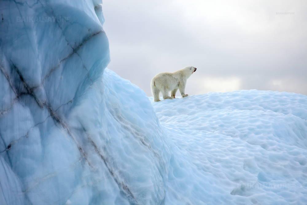 Белый медведь в естественной среде.