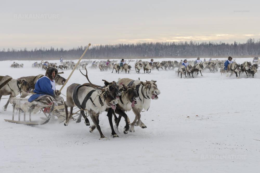 Кар-Нат Россия - 23 февраля 2016 года Ненецкий национальный праздник День оленевода, гонки на оленьих упряжках.